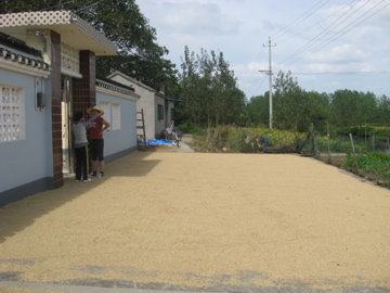 The rice laid out on the patio to dry.